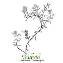 Brahmi - Bacopa monnieri