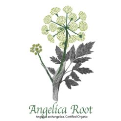 Angelica Root Organic - The Herb Temple