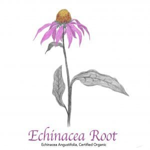 Echinacea Angustifolia Root - The Herb Temple