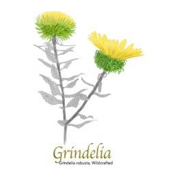 Grindelia robusta, Wildcrafted