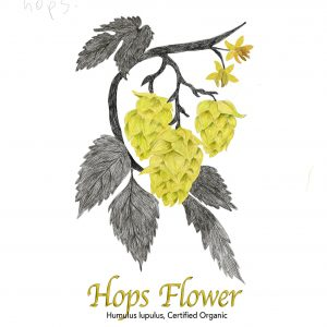 Hops Flower - The Herb Temple