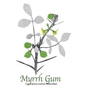 Myrrh Gum, Commiphora molmol, Wildcrafted