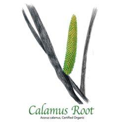 Calamus Root - The Herb Temple