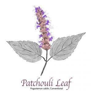 Patchouli Leaf