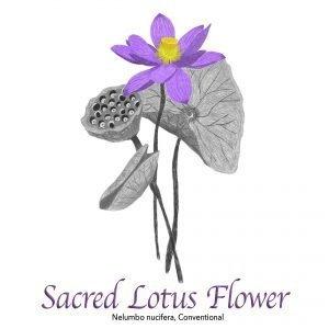 Sacred Lotus Flower, Nelumbo Nucifera