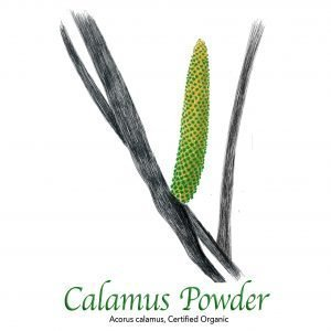 Calamus Root Powder - The Herb Temple