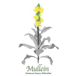 Mullein Wildcrafted - The Herb Temple