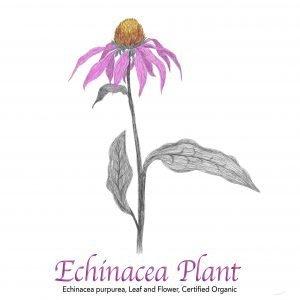 Echinacea Purpurea Leaf and Flower Organic - The Herb Temple